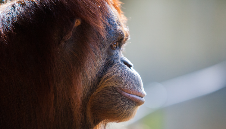 суматрански орангутан