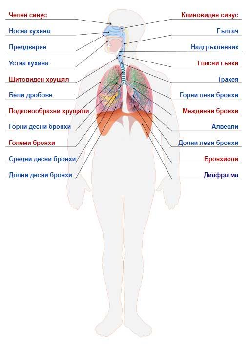 анатомия на човешкото тяло - дихателна система