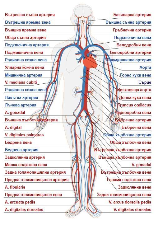 органи в човешкото тяло - кръвоносна система, сърдечносъдова система