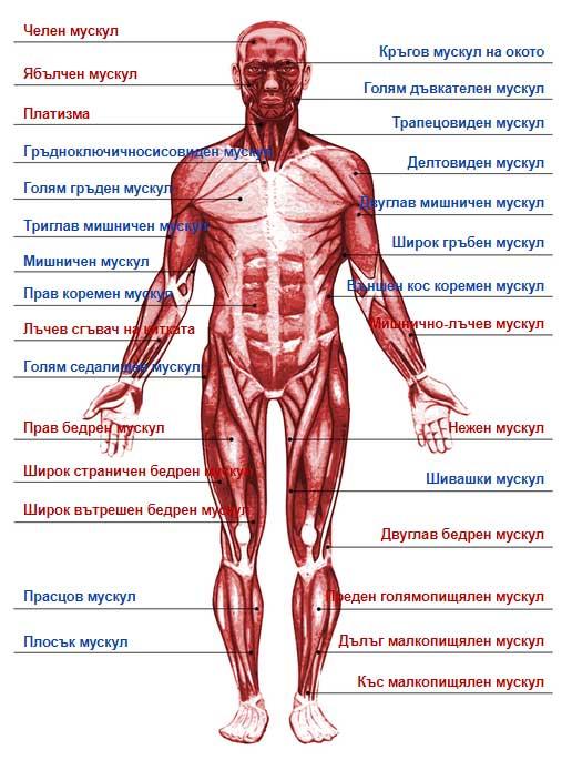 човешкото тяло - мускули на краката, гърба, ръката, бедрото и цялото тяло