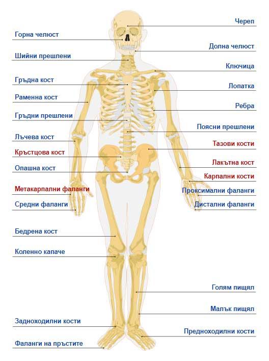 анатомия на човешкото тяло - костна система: ръката, ходилото, черепа и цялото тяло