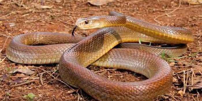 Крайбрежен Тайпан - третата най-отровната змия в света