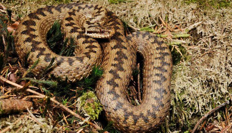 Най отровната змия в Европа
