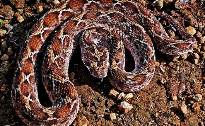 Пясъчна усойница - най-смъртоносната змия