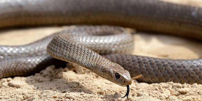 кафява змия - втората най-отровната змия в света