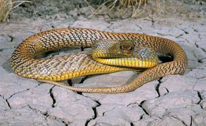 Най-отровната змия в света - континентален тайпан