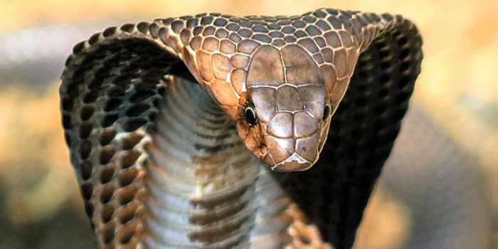 Кралска Кобра - най-голямата отровна змия