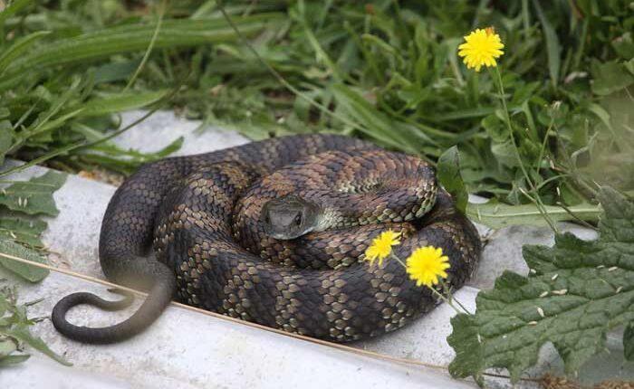 тигрова змия