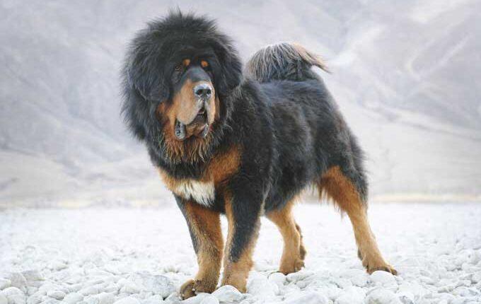 най-голямото куче в света мастив