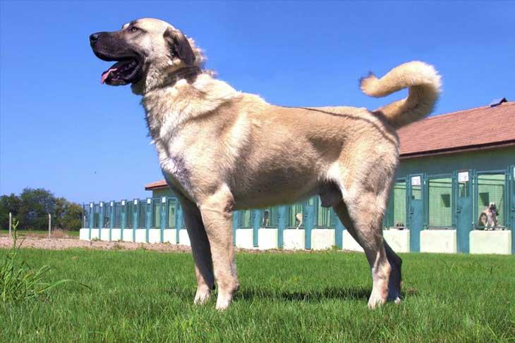 Кангал - най-голямото куче в света