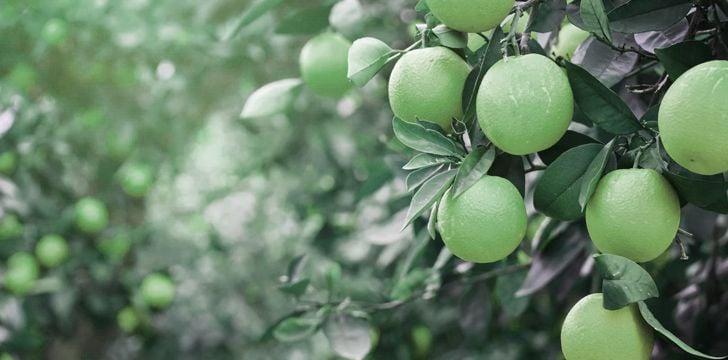 първите портокали са зелени