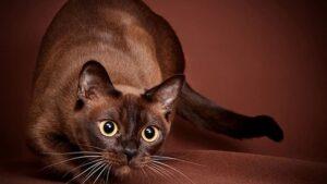 бирманска котка