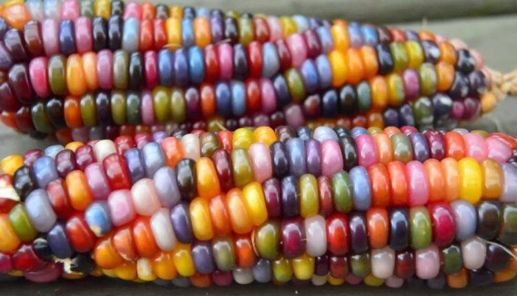 шарена царевица